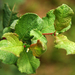 Salix aurita - Photo (c) Rudolf Schäfer, μερικά δικαιώματα διατηρούνται (CC BY-SA)