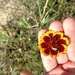 Thelesperma burridgeanum - Photo (c) prairie_rambler, μερικά δικαιώματα διατηρούνται (CC BY)