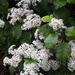 Olearia rani - Photo no hay derechos reservados