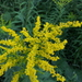 Solidago altissima altissima - Photo (c) michaelrayner,  זכויות יוצרים חלקיות (CC BY-NC), uploaded by Michael Rayner