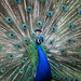 Indian Peafowl - Photo (c) Cloudtail the Snow Leopard, some rights reserved (CC BY-NC-ND)