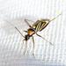 Miroidea - Photo (c) Ken-ichi Ueda, algunos derechos reservados (CC BY)