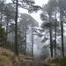 Pino de Las Alturas - Photo (c) oscarleonardo32, algunos derechos reservados (CC BY-NC)