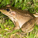 Vaillant's Frog - Photo (c) Chris Harrison, some rights reserved (CC BY-NC)