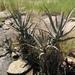Aloe divaricata - Photo (c) romer, algunos derechos reservados (CC BY-NC), uploaded by Romer Rabarijaona