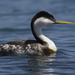 Western Grebe - Photo (c) Mike Baird, some rights reserved (CC BY)
