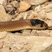 Little Whip Snake - Photo (c) David Cook, some rights reserved (CC BY-NC)