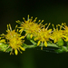 Swamp Goldenrod - Photo (c) Rob Curtis, some rights reserved (CC BY-NC-SA)