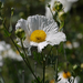 Matilija Poppies - Photo (c) randomtruth, some rights reserved (CC BY-NC-SA)