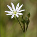 Stellaria graminea - Photo (c) Steve Chilton, algunos derechos reservados (CC BY-NC-ND)