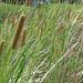 Broadleaf Cattail - Photo (c) Forest and Kim Starr, some rights reserved (CC BY)