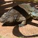 Iguana de la Isla Anegada - Photo (c) Jason Pratt, algunos derechos reservados (CC BY)