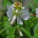 Sidalcea candida - Photo (c) Jerry Oldenettel, μερικά δικαιώματα διατηρούνται (CC BY-NC-SA)