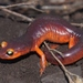 Ensatina eschscholtzii xanthoptica - Photo (c) J. Maughn, μερικά δικαιώματα διατηρούνται (CC BY-NC), uploaded by James Maughn