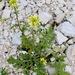 Erucastrum gallicum - Photo (c) Dan Mullen, algunos derechos reservados (CC BY-NC-ND)