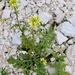 Erucastrum gallicum - Photo (c) Dan Mullen,  זכויות יוצרים חלקיות (CC BY-NC-ND)