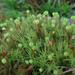 Common Apple-Moss - Photo (c) Kari Pihlaviita, some rights reserved (CC BY-NC)