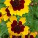 Coreopsis tinctoria - Photo (c) Jim Varnum, algunos derechos reservados (CC BY-NC)