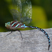 Black-tipped Darner - Photo (c) Rob Curtis, some rights reserved (CC BY-NC-SA)