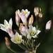 Cebolla de Monte - Photo (c) Patricia Simpson, algunos derechos reservados (CC BY-NC)