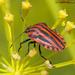 Graphosoma - Photo (c) Valter Jacinto, algunos derechos reservados (CC BY-NC-SA)