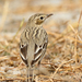 Tree Pipit - Photo (c) Imran Shah, some rights reserved (CC BY-SA)