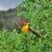 Mutisia acuminata - Photo (c) Annika Lindqvist, some rights reserved (CC BY)