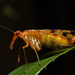 Panorpidae - Photo (c) kim fleming, algunos derechos reservados (CC BY-NC-SA)