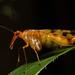 Panorpidae - Photo (c) kim fleming, alguns direitos reservados (CC BY-NC-SA)