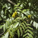 Platycarya strobilacea - Photo (c) mutolisp,  זכויות יוצרים חלקיות (CC BY-NC-SA)