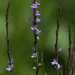 Verbena halei - Photo (c) Steve Harbula, algunos derechos reservados (CC BY-NC)