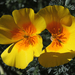 California Poppy - Photo (c) Gwen Noda, some rights reserved (CC BY-NC)