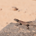 Agama impalearis - Photo (c) Henri Bourgeois-Costa,  זכויות יוצרים חלקיות (CC BY-NC-ND)