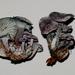 Gerronema waikanaense - Photo (c) Jerry, algunos derechos reservados (CC BY), uploaded by Jerry Cooper