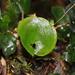 Hymenophyllum nephrophyllum - Photo (c) Brian Gratwicke, algunos derechos reservados (CC BY)