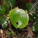 Kidney Fern - Photo (c) Brian Gratwicke, some rights reserved (CC BY)
