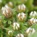 Trifolium cherleri - Photo (c) bathyporeia, algunos derechos reservados (CC BY-NC-ND)