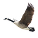 Canada Goose - Photo (c) edoswalt, some rights reserved (CC BY-NC)