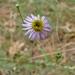 Leafy Fleabane - Photo (c) randomtruth, some rights reserved (CC BY-NC-SA)