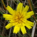 Hairy Hawkbit - Photo (c) Anita, some rights reserved (CC BY-NC)