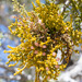 Juniper Mistletoe - Photo (c) Tony Iwane, some rights reserved (CC BY-NC)
