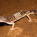 Eublepharis fuscus - Photo (c) Ashahar alias Krishna Khan,  זכויות יוצרים חלקיות (CC BY-SA)