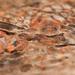 Nyctibatrachus aliciae - Photo (c) Vipin Baliga, algunos derechos reservados (CC BY-NC-SA)