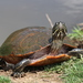 Northern Red-bellied Cooter - Photo (c) rhondaridley, some rights reserved (CC BY-NC)