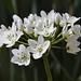 Naples Garlic - Photo (c) Vicenç Dorsé, some rights reserved (CC BY-NC-SA)
