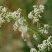 Galium album - Photo (c) Wildlife in a Dorset garden. Thanks for 150,000 views,  זכויות יוצרים חלקיות (CC BY-NC-SA)