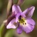 Orchis quadripunctata - Photo (c) Roberto Sindaco, algunos derechos reservados (CC BY-NC-SA)
