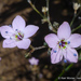 Caraway-leaved Woodland-Gilia - Photo (c) 2014 Keir Morse, some rights reserved (CC BY-NC-SA)