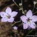 Saltugilia caruifolia - Photo (c) 2014 Keir Morse, algunos derechos reservados (CC BY-NC-SA)