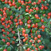 Wall Cotoneaster - Photo (c) M a n u e l, some rights reserved (CC BY-SA)